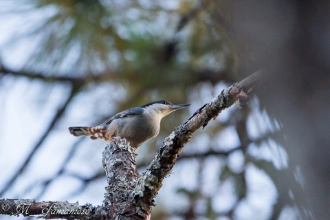 Giant Nuthatch