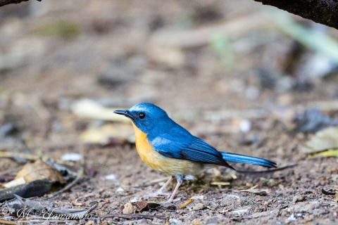 Hill Blue-Flycatcher