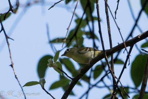 Clicking Shrike-Babbler
