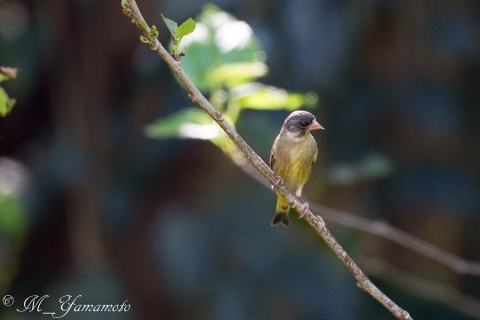 Black-headed Greenfinch