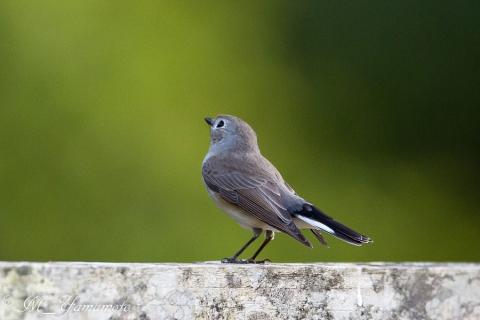 Taiga Flycatcher
