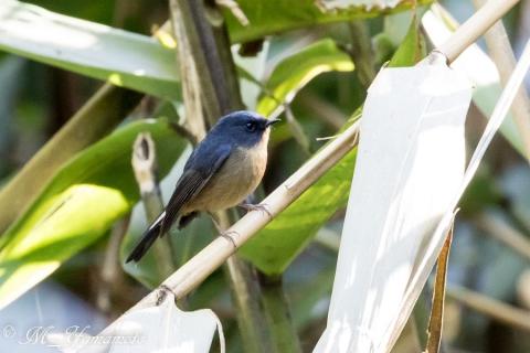 Slaty-blue Flycatcher