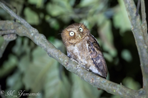 Mountain Scops-Owl