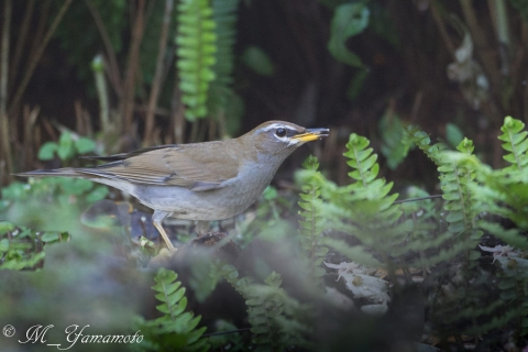 Gray-sided Thrush