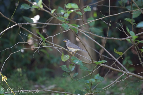 Eyebrowed Thrush