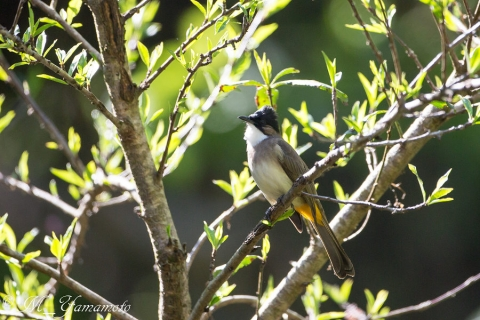Brown-breasted Bulbul