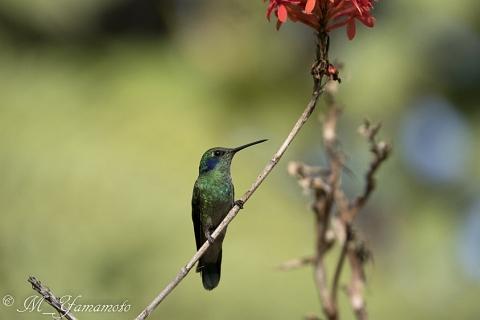 Green Violetear:ミドリハチドリ