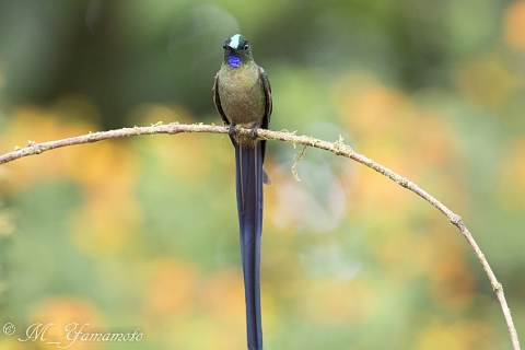 Violet-tailed Sylph:ムラサキフタオハチドリ
