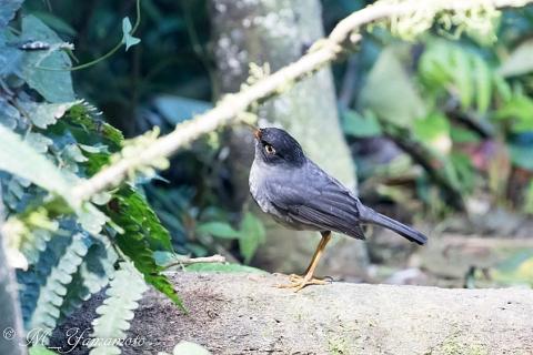 Slaty-backed Nightingale-Thrush:ウスグロチャツグミ