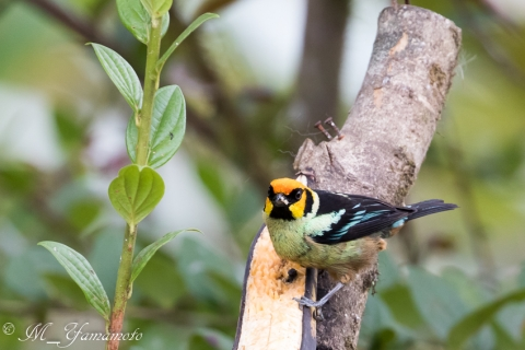Flame-faced Tanager,アカガオフウキンチョウ