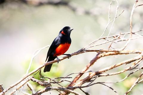 Scarlet-bellied Mountain-Tanager:アカハラヤマフウキンチョウ