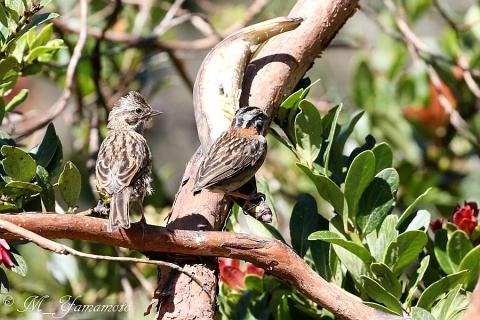 Rufous-collared Sparrow:アカエリシトド
