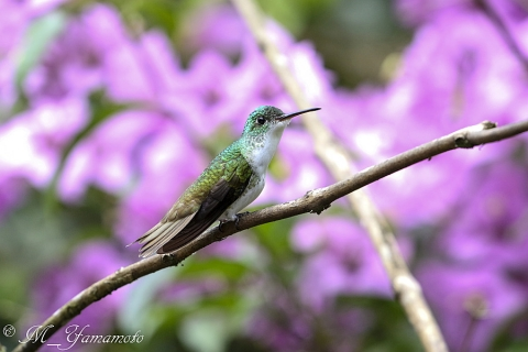 Andean Emerald:ズアオエメラルドハチドリ