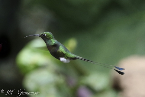 Booted Racket-Tail:ラケットハチドリ
