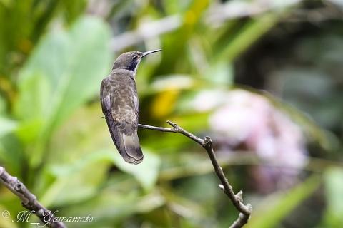 Brown Violetear:チャイロハチドリ