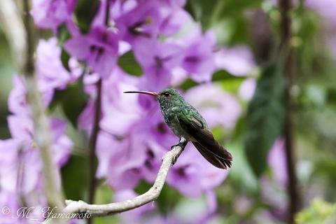 Rufous-tailed Hummingbird:ハイバラエメラルドハチドリ
