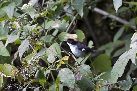 White-winged Brush-Finch:ハジロヤブシトド