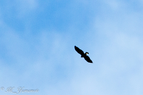 White-rumped Hawk:コシジロノスリ