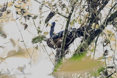 Sickle-winged Guan:カマバネシャクケイ