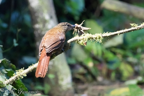 Strong-billed Woodcreeper:ハシブトオニキバシリ