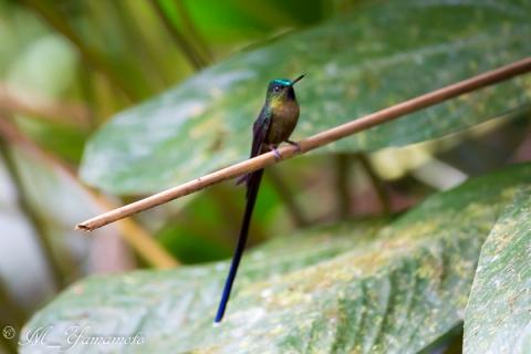 Violet-tailed Sylph:ムラサキフタオハチ