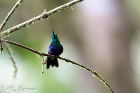 Green-crowned Woodnymph:ミドリボウシモリハチドリ