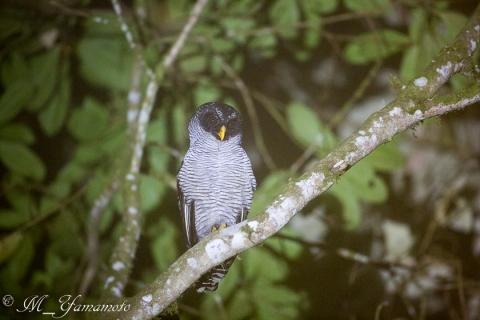 Black-and-white Owl:シロクロヒナフクロウ