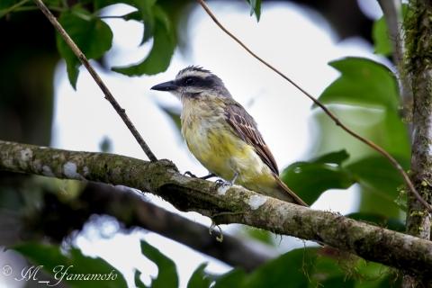 Golden-crowned Flycatcher:キンカムリブチタイランチョウ