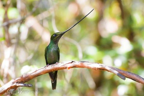 Sword-billed Hummingbird:ヤリハシハチドリ