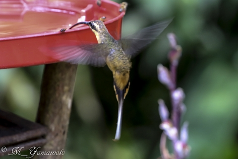tawny-bellied hermit:キバラユミハチドリ