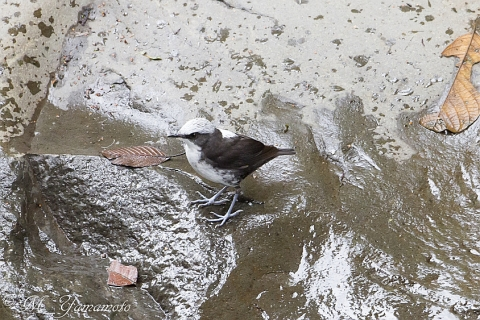 White-capped Dipper:シロガシラカワガラス