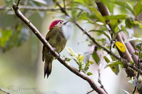 Golden-olive Woodpecker:キンバネモリゲラ