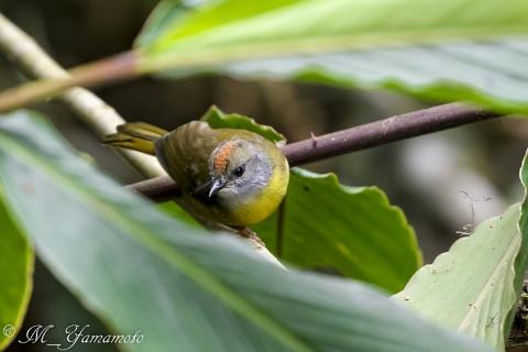 Tricolored Brush-Finch:サンショクヤブシトド