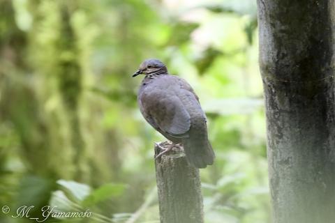 White-throated Quail-Dove:バラビタイウズラバト
