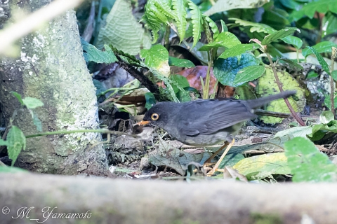 Slaty-backed Nightingale-Thrush:ウスグロチャツグミ