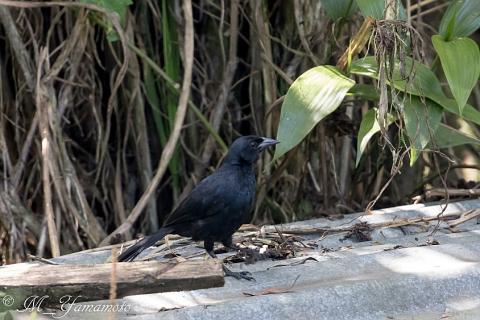 Scrub Blackbird:ヤブクロムクドリモドキ