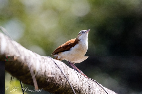 Pacific Hornero:アカアシカマドドリ