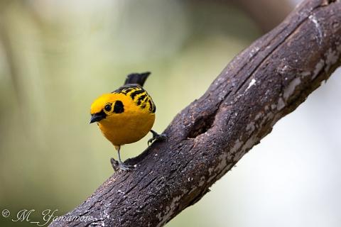 Golden Tanager:キンイロフウキンチョウ