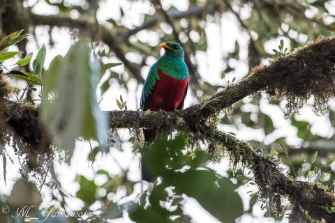 Golden-headed Quetzal:キンガシラカザリキヌバネドリ