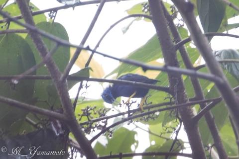 Purple Honeycreeper:ムラサキミツドリ