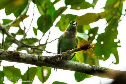 Maroon-tailed Parakeet:オグロウロコインコ