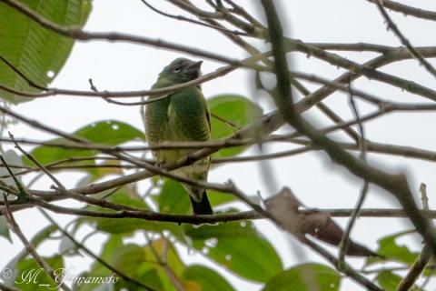 Swallow Tanager:ツバメフウキンチョウ