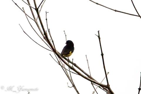 Yellow-bellied Siskin:キバラクロヒワ