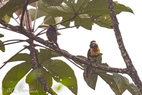 Pale-mandibled Aracari:ハイハシムナフチュウハシ