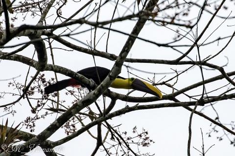 Chestnut-madibled Toucan:クリハシオオハシ
