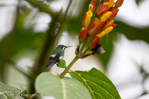Green Thorntail:ミドリトゲオハチドリ