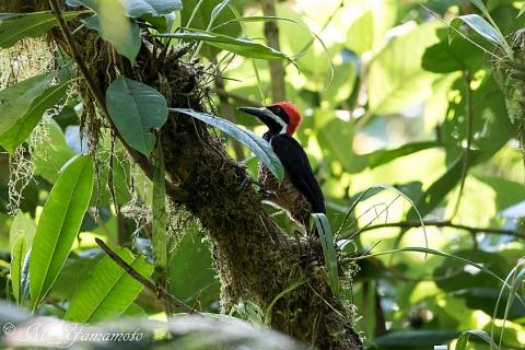 Powerful Woodpecker:クロビタイエボシゲラ