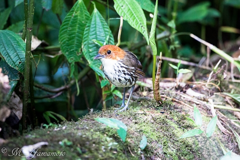 Chestnut-crowned Antpitta:クリガシラジアリドリ