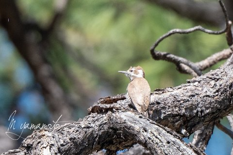 1_Arizona-Woodpecker-2-s