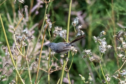 1_Blue-gray-Gnatcatcher-2-s